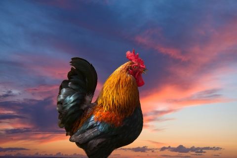 Rooster against colorful sunrise