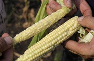 corncropped