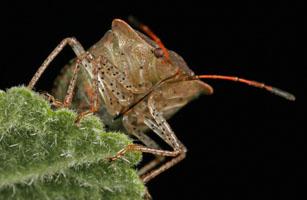 Stink Bug head, Order Hemiptera, Family Pentatomidae, New Hampshire, USA