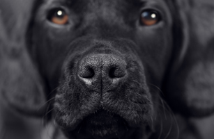 blacklabCropped