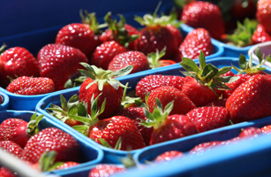 New Zealand Strawberry Season Thrives Ahead Of Christmas Rush