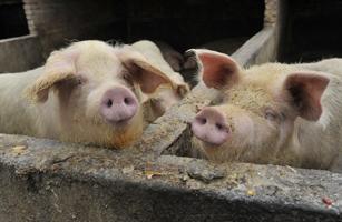 Global Fears Of Swine Flu Pandemic Increase