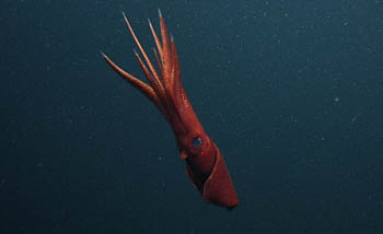 octopoteuthis1