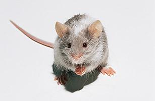hl_mouse_1103
