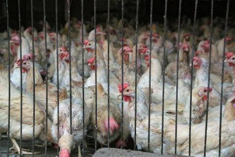 33 H7N9 Bird Flu Cases Confirmed In China